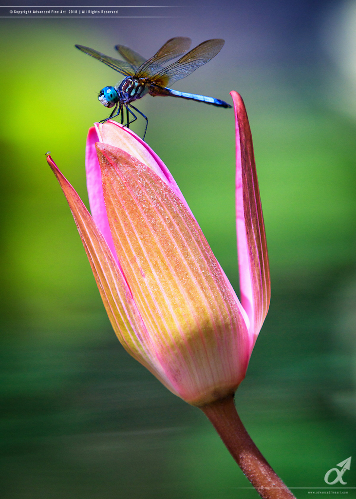 Blue Dasher Dragonfly - Water Lily