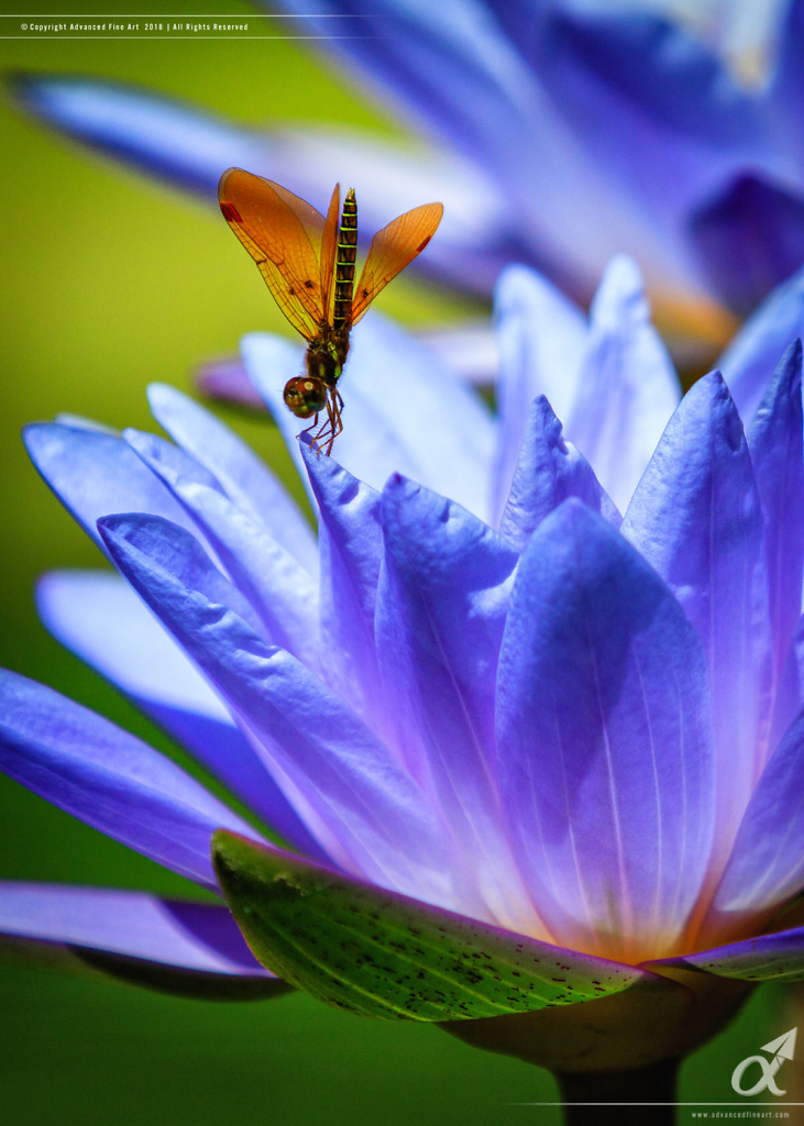 Eastern Amberwing Dragonfly - Water Lily
