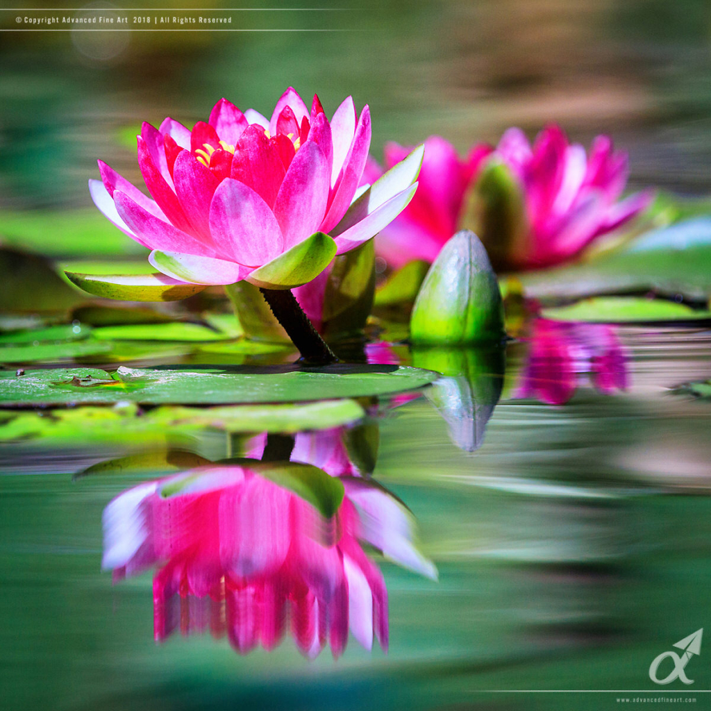 Water Lily Reflections - Duke Gardens